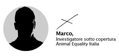 Marco, investigatore di Animal Equality sotto copertura in allevamenti e macelli